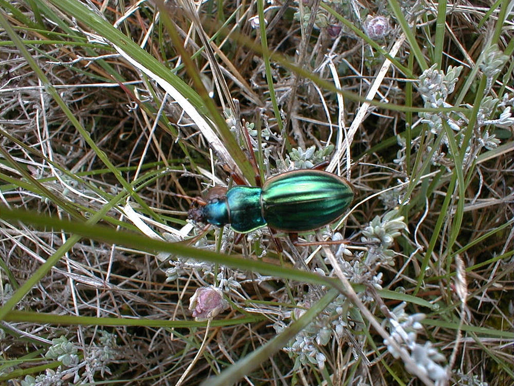 Carabus auratus Carabe doré Golden ground beetle
