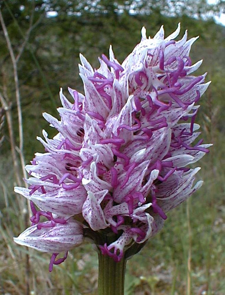 Orchis simia (Orchidaceae)  - Orchis singe - Monkey Orchid. samedi 28 avril 2001, alt.=457m - Gard [France].