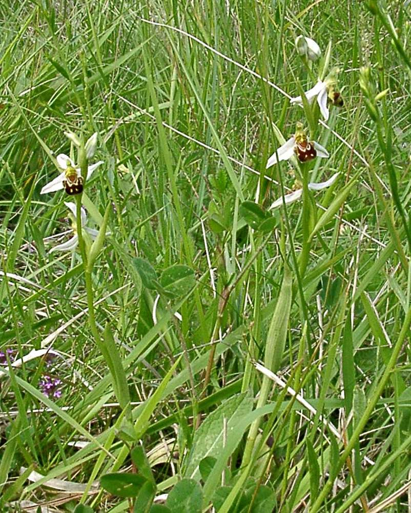 Ophrys apifera (Orchidaceae)  - Ophrys abeille - Bee Orchid. samedi 16 juin 2001, alt.=194m - Marne [France].