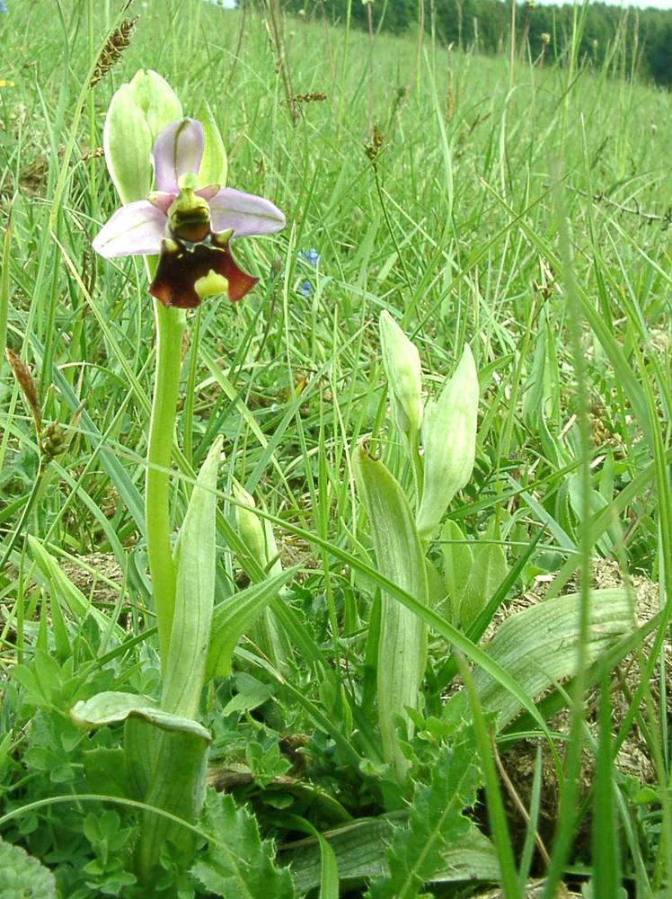 Ophrys fuciflora (Orchidaceae)  - Ophrys bourdon, Ophrys frelon - Late Spider-orchid Meurthe-et-Moselle [France] 09/05/2002 - 222m