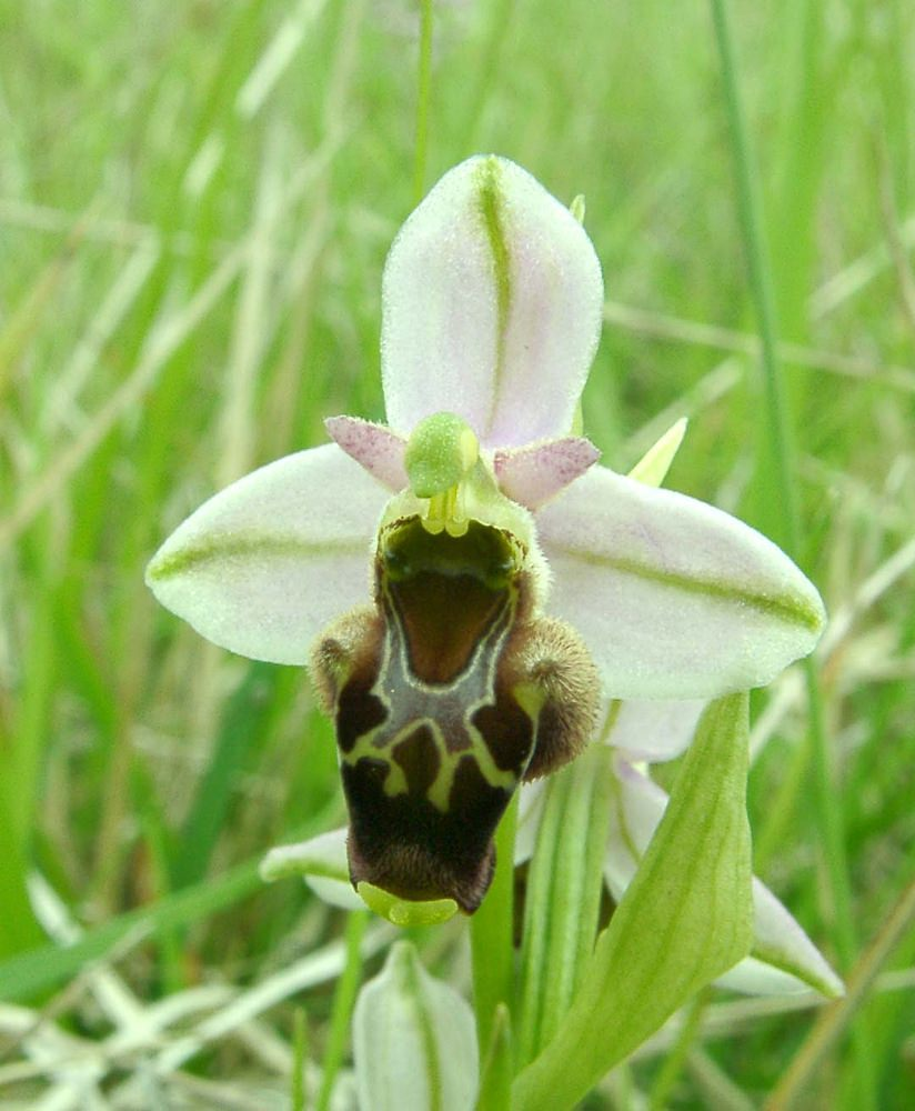 Ophrys fuciflora (Orchidaceae)  - Ophrys bourdon, Ophrys frelon - Late Spider-orchid Aisne [France] 19/05/2002 - 114m