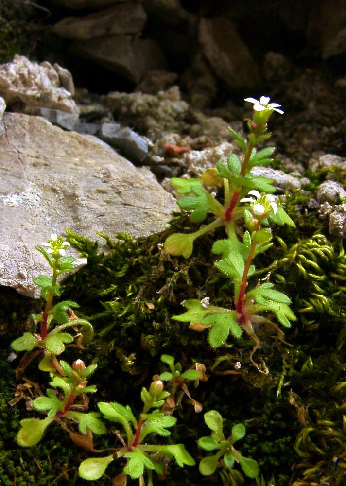Saxifraga tridactylites (Saxifragaceae)  - Saxifrage à trois doigts, Petite saxifrage - Rue-leaved Saxifrage. lundi 14 avril 2003, alt.=459m - Lozère [France].