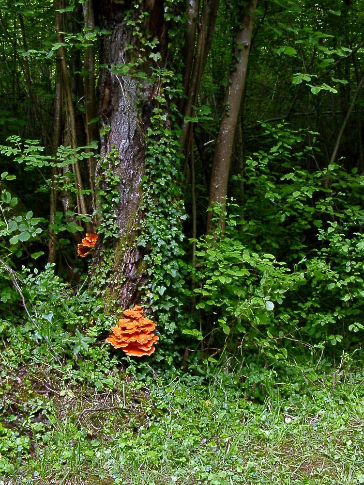 Laetiporus sulphureus (Polyporaceae)  - Chicken of The Woods. dimanche 25 mai 2003, alt.=100m - Aisne [France].