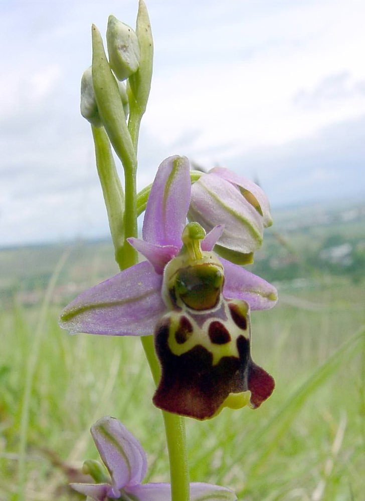 Ophrys fuciflora (Orchidaceae)  - Ophrys bourdon, Ophrys frelon - Late Spider-orchid Aisne [France] 25/05/2003 - 107m