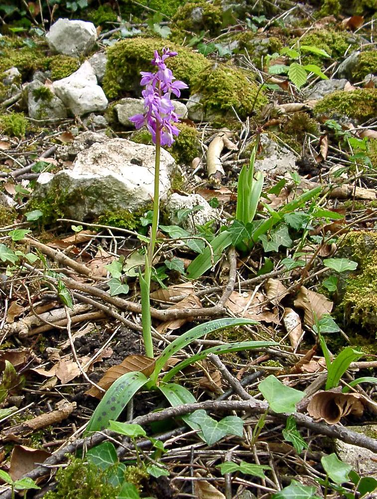 Orchis mascula (Orchidaceae)  - Orchis mâle - Early-purple Orchid Marne [France] 01/05/2003 - 130m