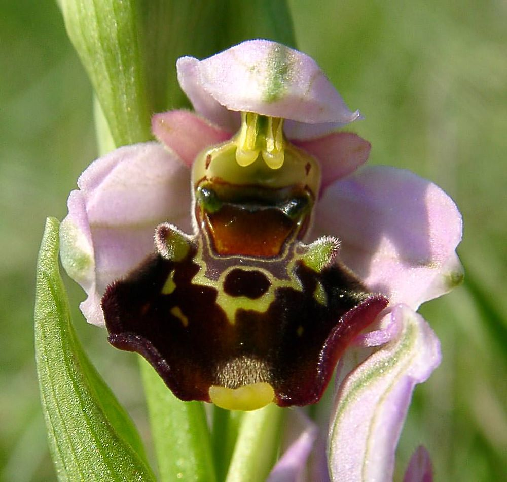 Ophrys fuciflora (Orchidaceae)  - Ophrys bourdon, Ophrys frelon - Late Spider-orchid Aisne [France] 15/05/2004 - 120m