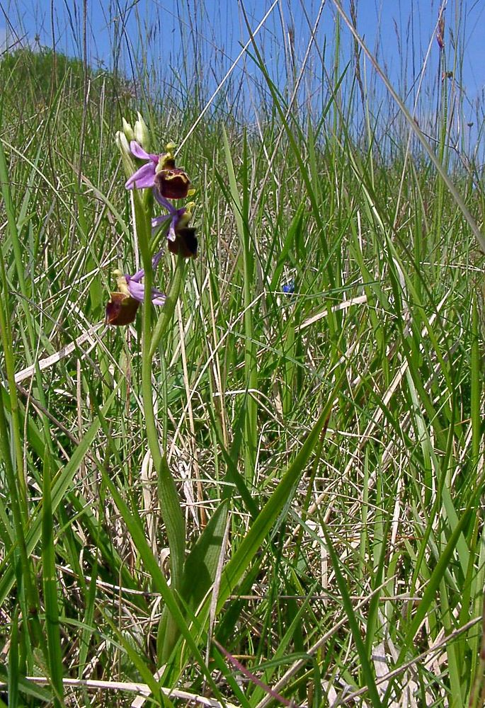 Ophrys fuciflora (Orchidaceae)  - Ophrys bourdon, Ophrys frelon - Late Spider-orchid Aisne [France] 16/05/2004 - 114m