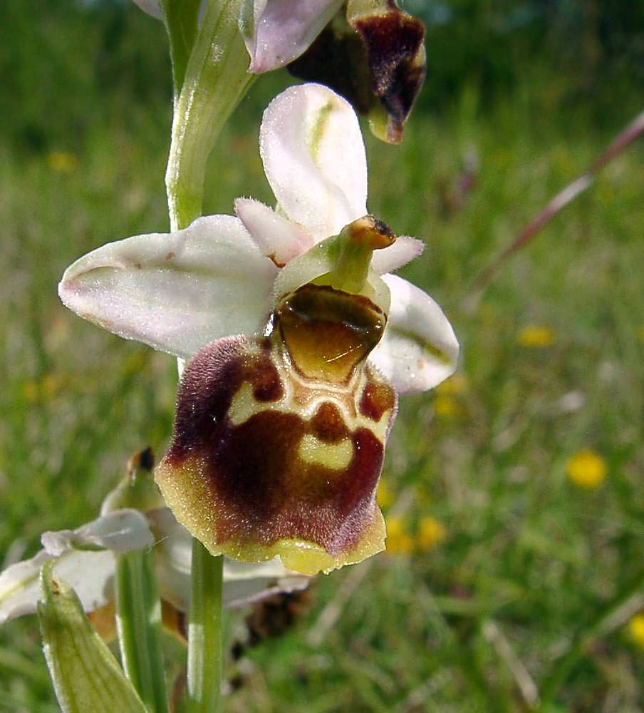 Ophrys fuciflora (Orchidaceae)  - Ophrys bourdon, Ophrys frelon - Late Spider-orchid Aisne [France] 29/05/2004 - 113m