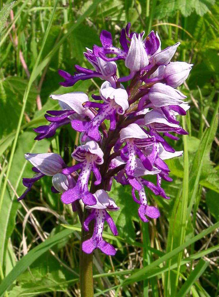 Orchis militaris Orchis militaire Military Orchid