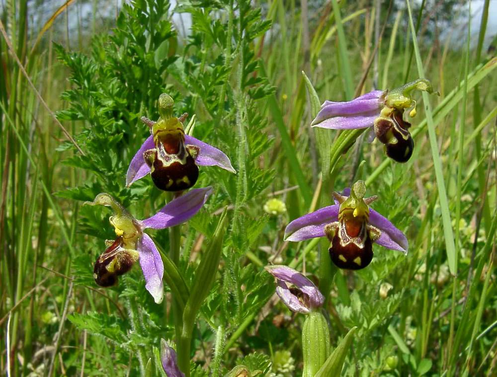 Ophrys apifera (Orchidaceae)  - Ophrys abeille - Bee Orchid. samedi 12 juin 2004, alt.=1m - Nord [France].