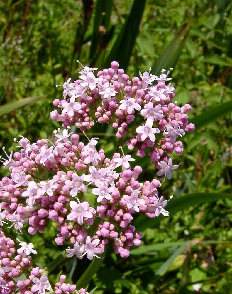Valeriana officinalis Valériane officinale, Valériane des collines Common Valerian