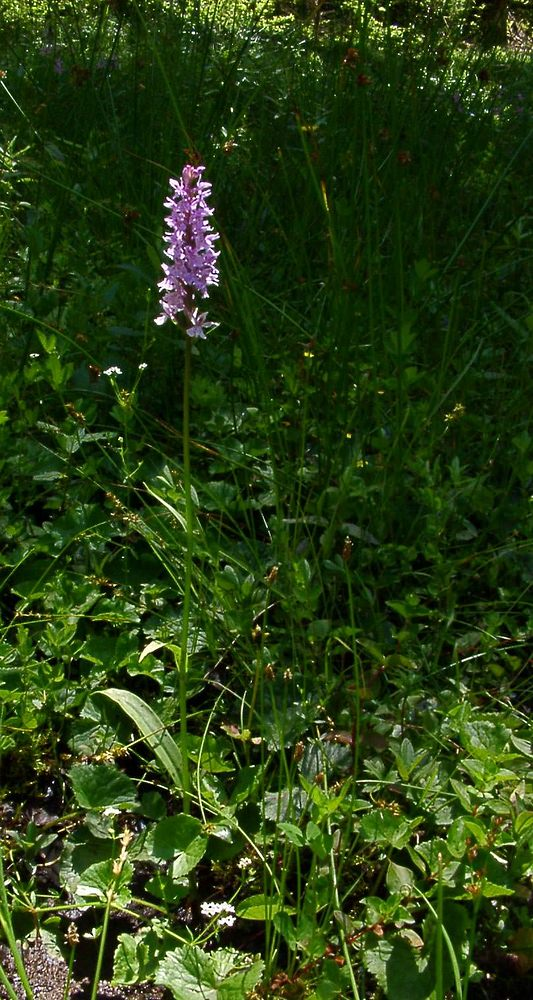 Dactylorhiza maculata Orchis tacheté, Orchis maculé Heath Spotted-orchid
