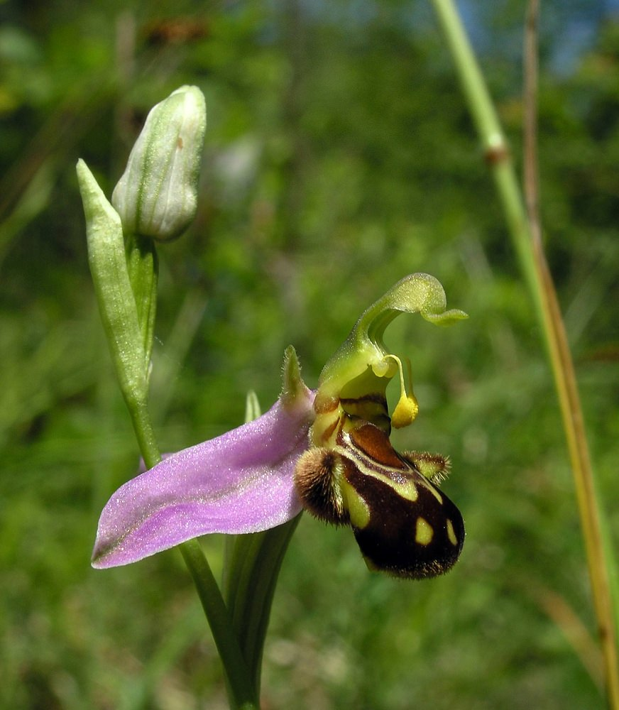 Ophrys apifera (Orchidaceae)  - Ophrys abeille - Bee Orchid. samedi 18 juin 2005, alt.=216m - Marne [France].