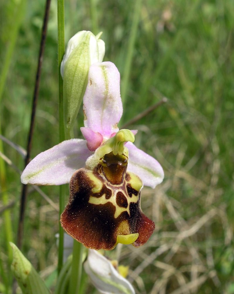 Ophrys fuciflora (Orchidaceae)  - Ophrys bourdon, Ophrys frelon - Late Spider-orchid Aube [France] 03/06/2005 - 249m