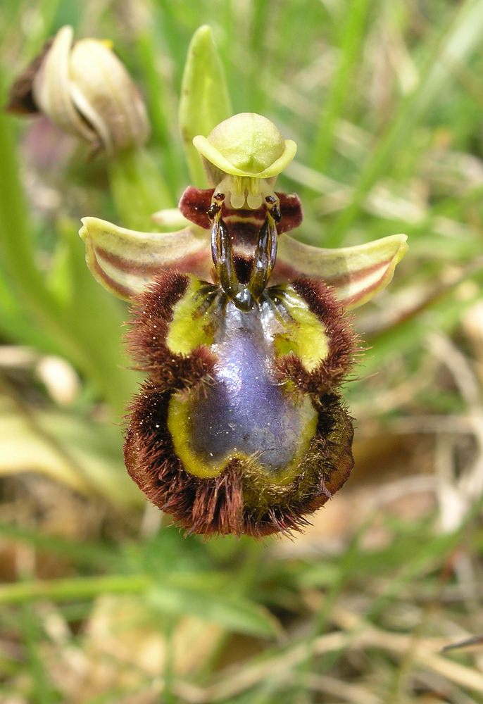 Ophrys speculum Ophrys miroir