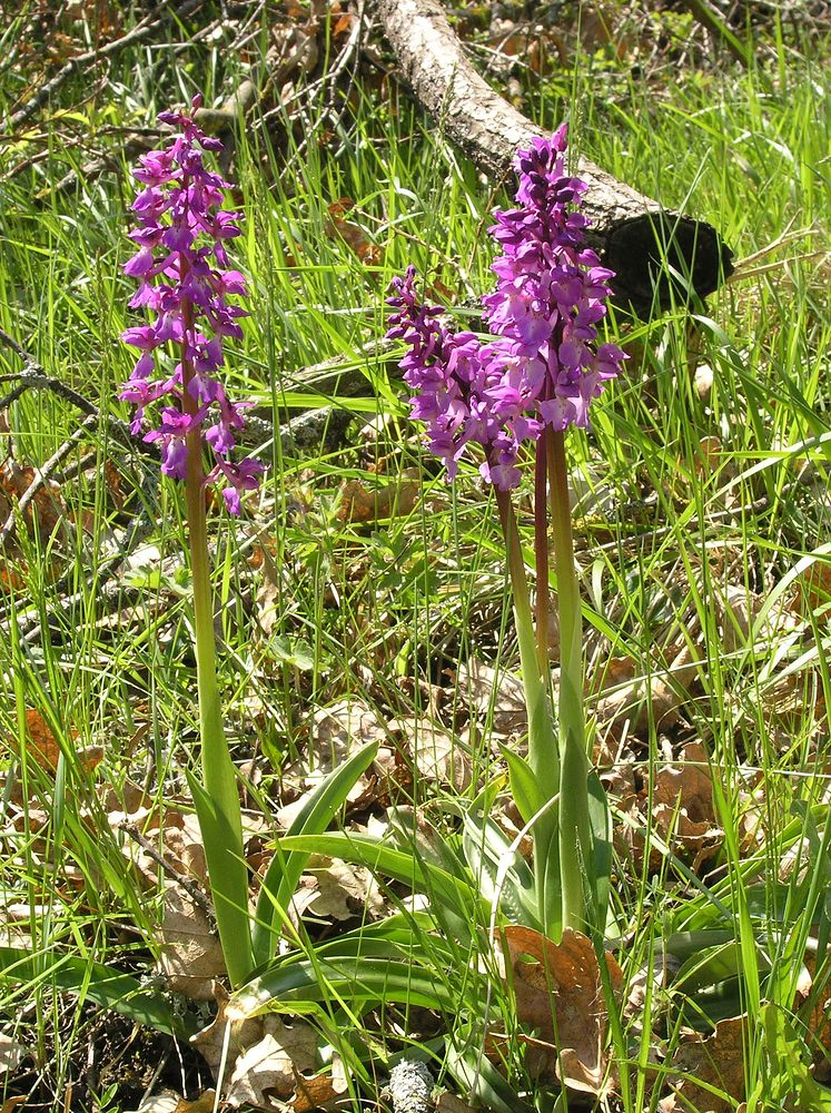 Orchis mascula (Orchidaceae)  - Orchis mâle - Early-purple Orchid Cantal [France] 30/04/2006 - 637m