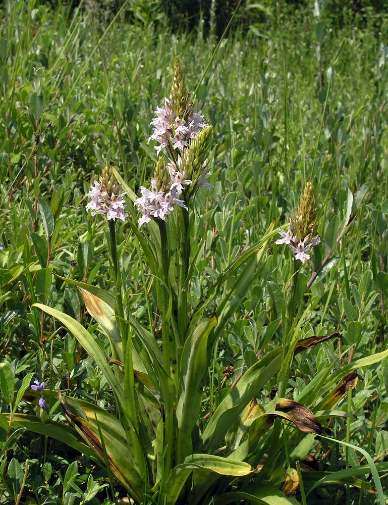 Dactylorhiza fuchsii Orchis de Fuchs Common Spotted-orchid
