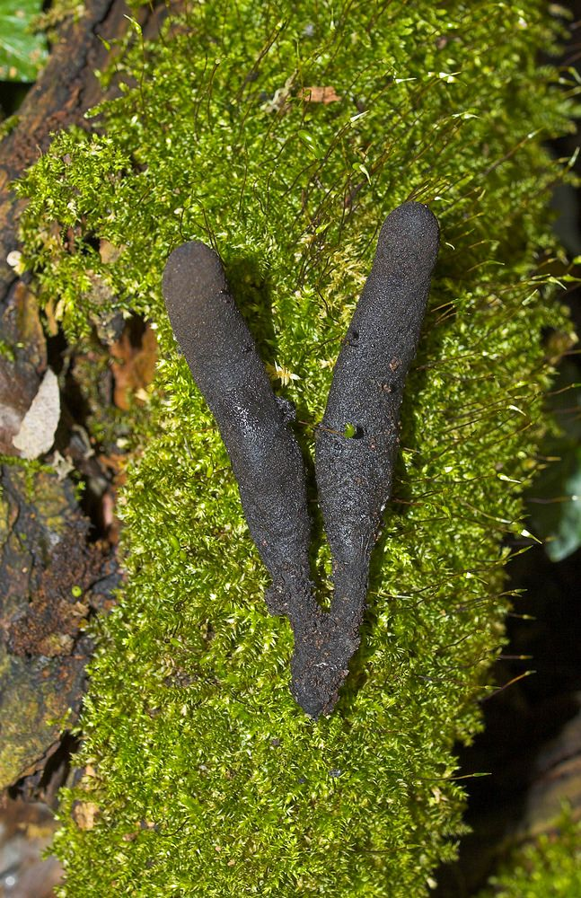 Xylaria polymorpha (Xylariaceae)  - Dead Man's Fingers. mercredi 11 octobre 2006, alt.=23m - Nord [France].