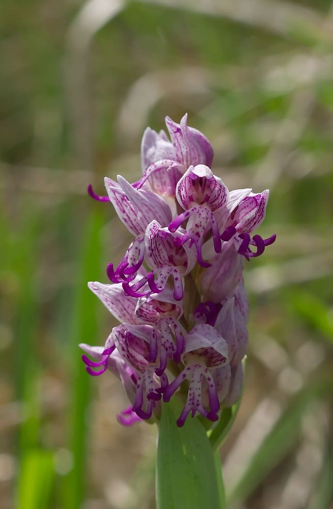 Orchis x beyrichii Orchis