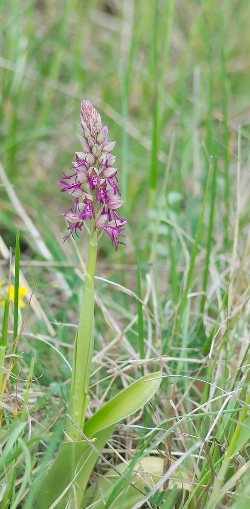 Orchis x spuria Orchis hybride homme pendu x militaire