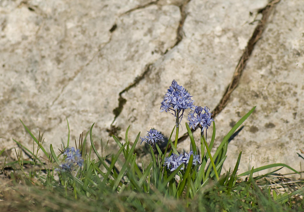 Hyacinthoides italica Scille d'Italie Italian Bluebell