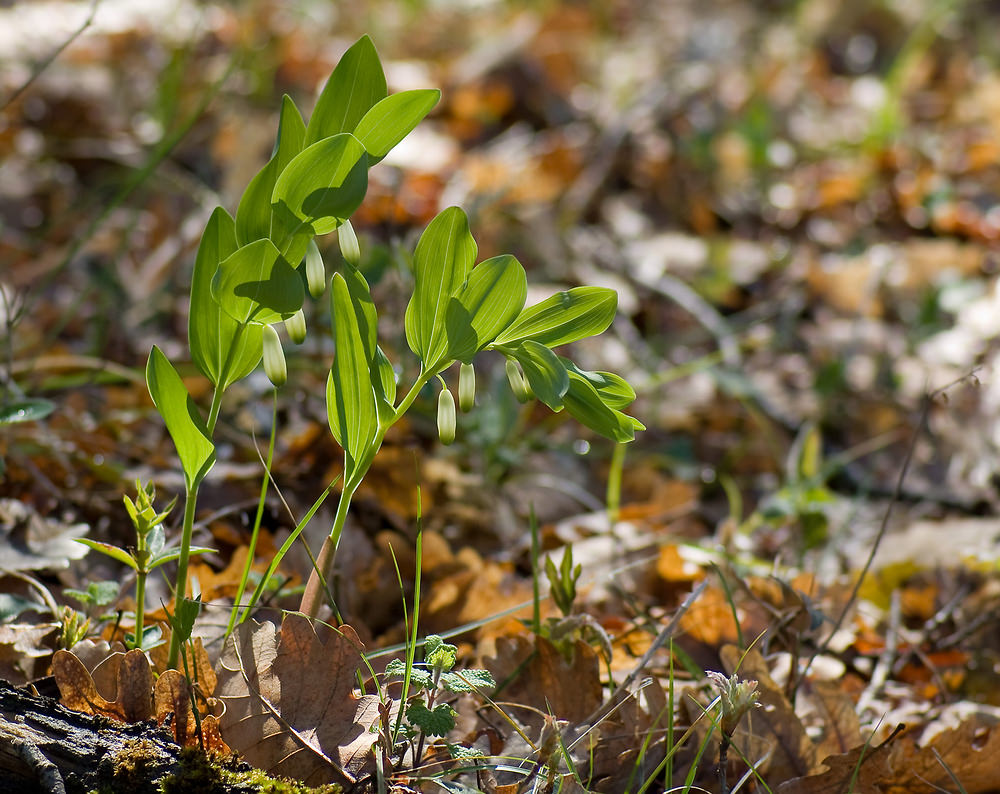 Polygonatum odoratum (Asparagaceae)  - Sceau de salomon odorant, Polygonate officinal - Angular Solomon's-seal. samedi 19 avril 2008, alt.=292m - Drôme [France].