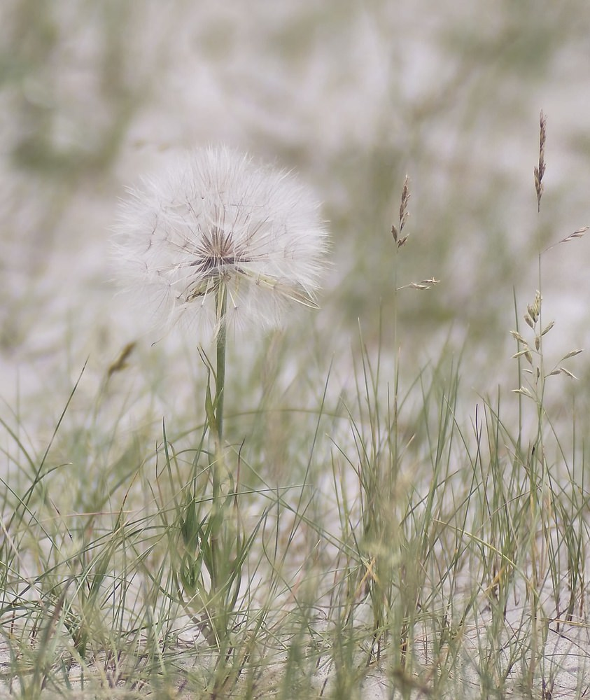 Tragopogon  salsifi goat's-beards