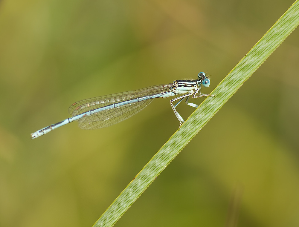 Platycnemis pennipes (Platycnemididae)  - Agrion à larges pattes - White-legged Damselfly. dimanche 31 août 2008, alt.=109m - Marne [France].