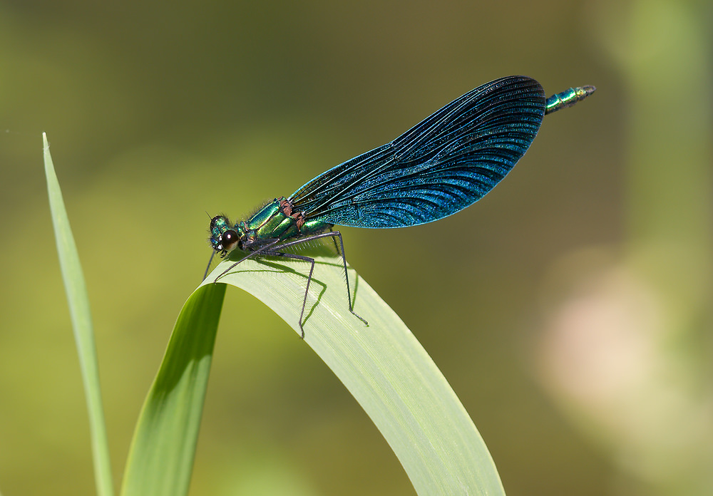 Calopteryx virgo Caloptéryx vierge Beautiful Damselfly
