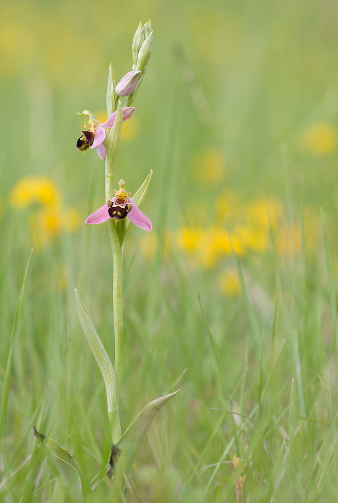 Ophrys apifera (Orchidaceae)  - Ophrys abeille - Bee Orchid. vendredi 22 mai 2009, alt.=476m - Drôme [France].