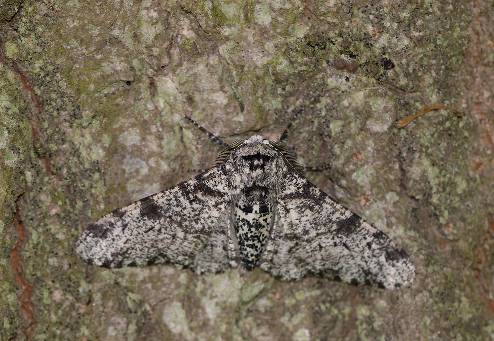 Biston betularia (Geometridae)  - Phalène du Bouleau, Biston du Bouleau - Peppered Moth. mercredi 15 juillet 2009, alt.=1m - Norfolk [United Kingdom]. forme claire typique