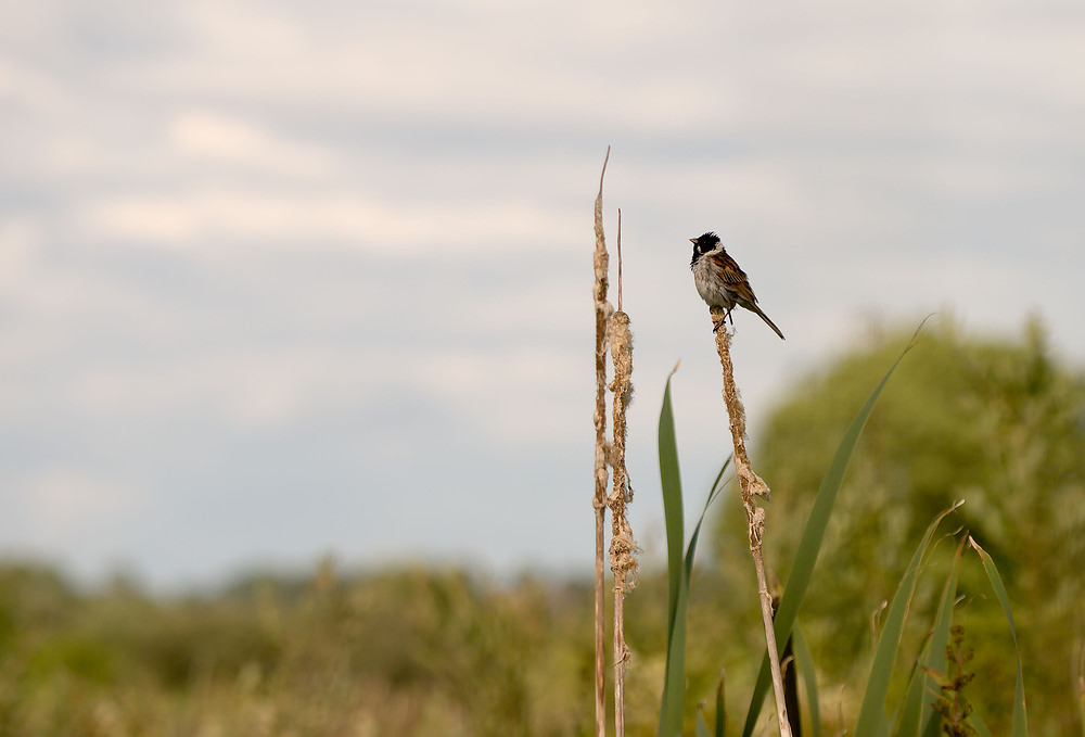 Emberiza schoeniclus Bruant des roseaux Reed Bunting