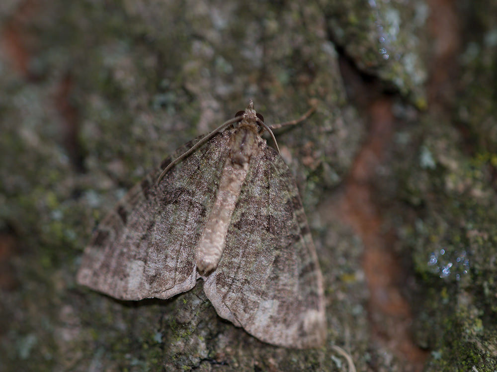 Hydriomena furcata (Geometridae)  - Larentie lavée - July Highflyer. mercredi 15 juillet 2009, alt.=1m - Norfolk [United Kingdom].