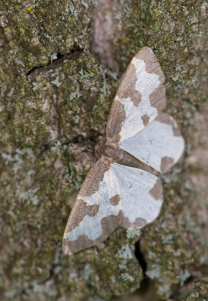 Lomaspilis marginata (Geometridae)  - Bordure entrecoupée, Marginée - Clouded Border. mercredi 15 juillet 2009, alt.=1m - Norfolk [United Kingdom].