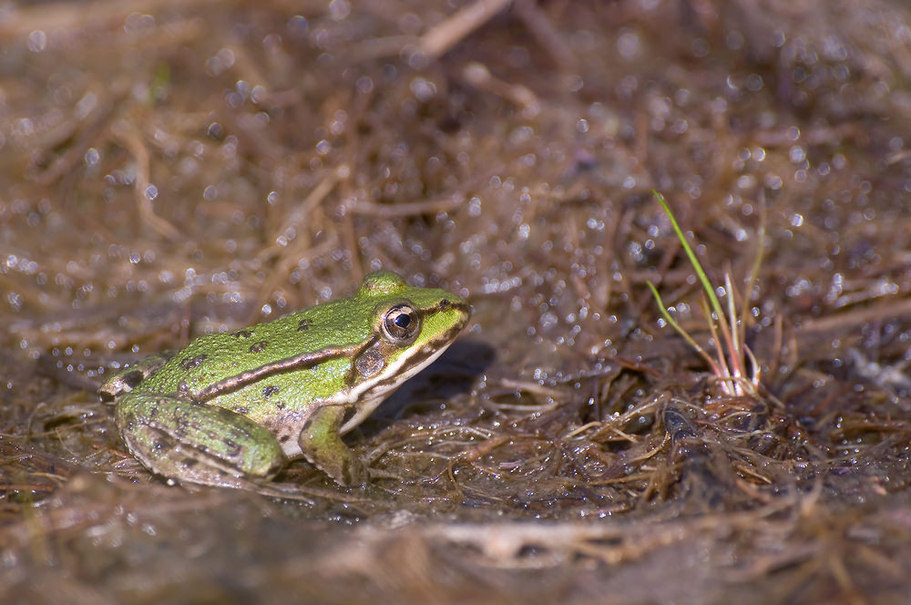 Pelophylax lessonae Grenouille de Lessona Pool Frog
