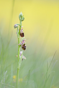 Ophrys x obscura