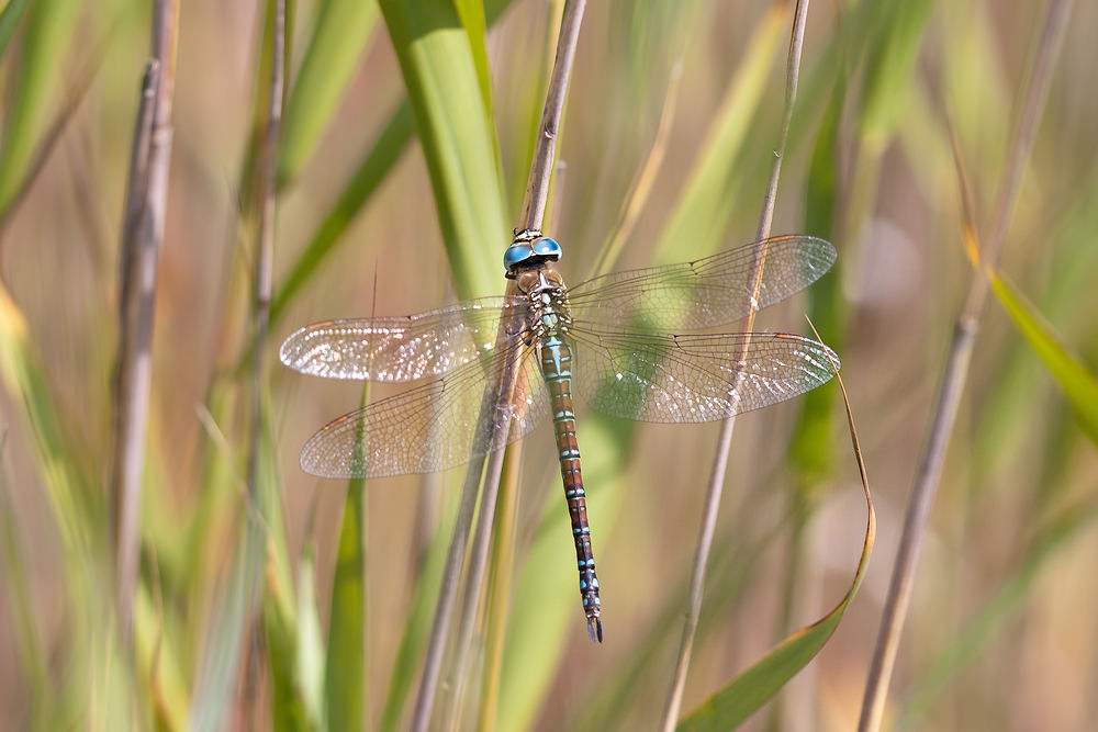 Aeshna affinis Aeschne affine Southern Migrant Hawker