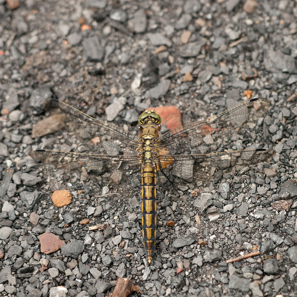Orthetrum cancellatum Orthétrum réticulé Black-tailed Skimmer