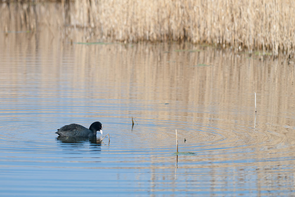 Fulica atra Foulque macroule Common Coot