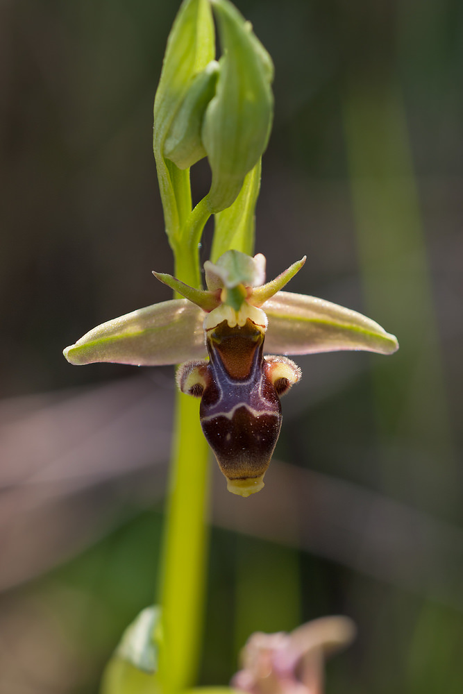 Ophrys scolopax subsp. apiformis Ophrys peint, Ophrys picta