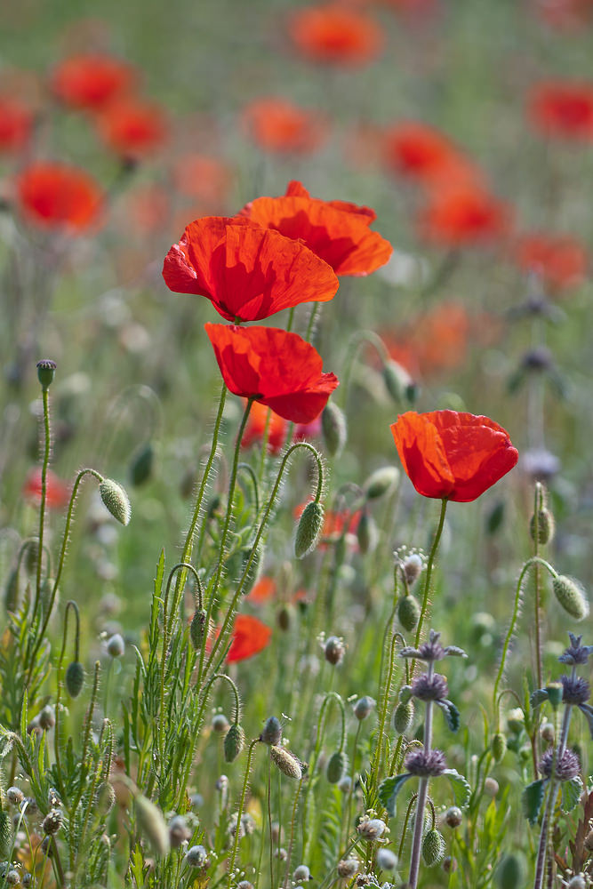 Papaver rhoeas Coquelicot Common Poppy