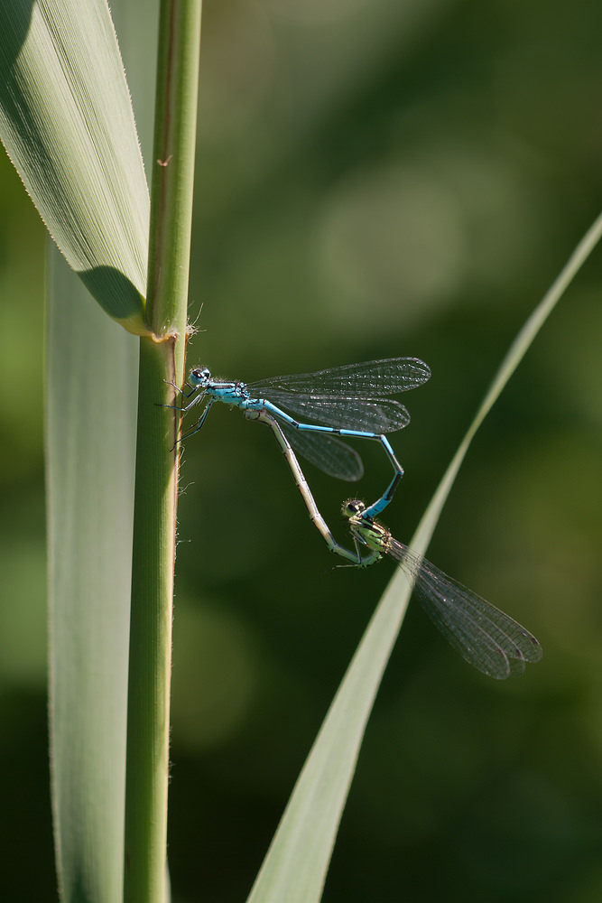 Coenagrion puella (Coenagrionidae)  - Agrion jouvencelle - Azure Damselfly. mercredi 25 mai 2011, alt.=84m - Marne [France].
