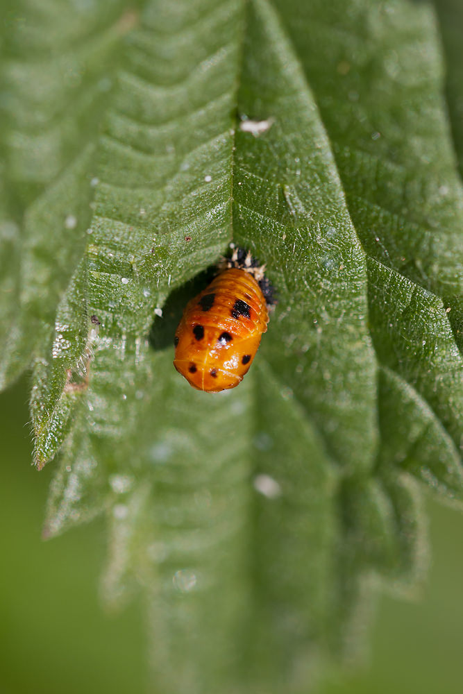 Harmonia axyridis (Coccinellidae)  - Coccinelle asiatique - Harlequin ladybird. mercredi 25 mai 2011, alt.=84m - Marne [France]. stade nymphal