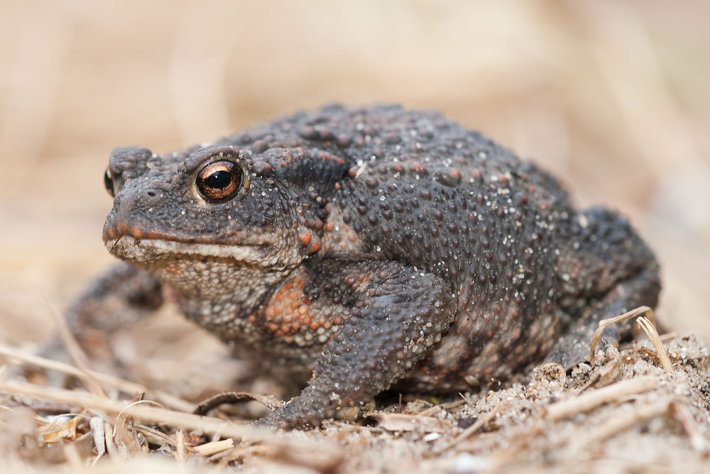 Bufo bufo Crapaud commun Common Toad