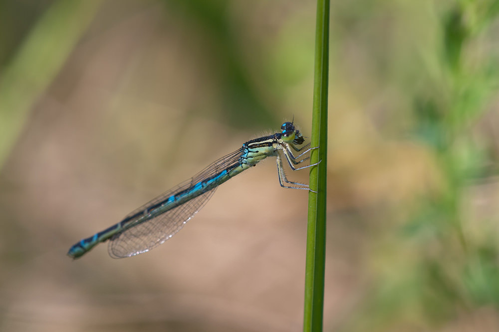Coenagrion scitulum (Coenagrionidae)  - Agrion mignon - Dainty Damselfly. jeudi 02 juin 2011, alt.=37m - Nord [France].