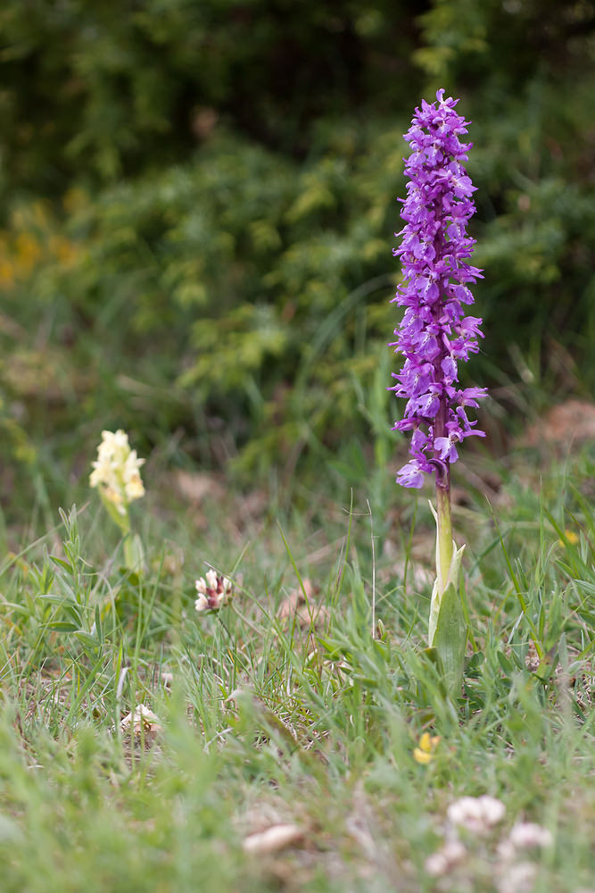 Orchis mascula Orchis mâle Early-purple Orchid
