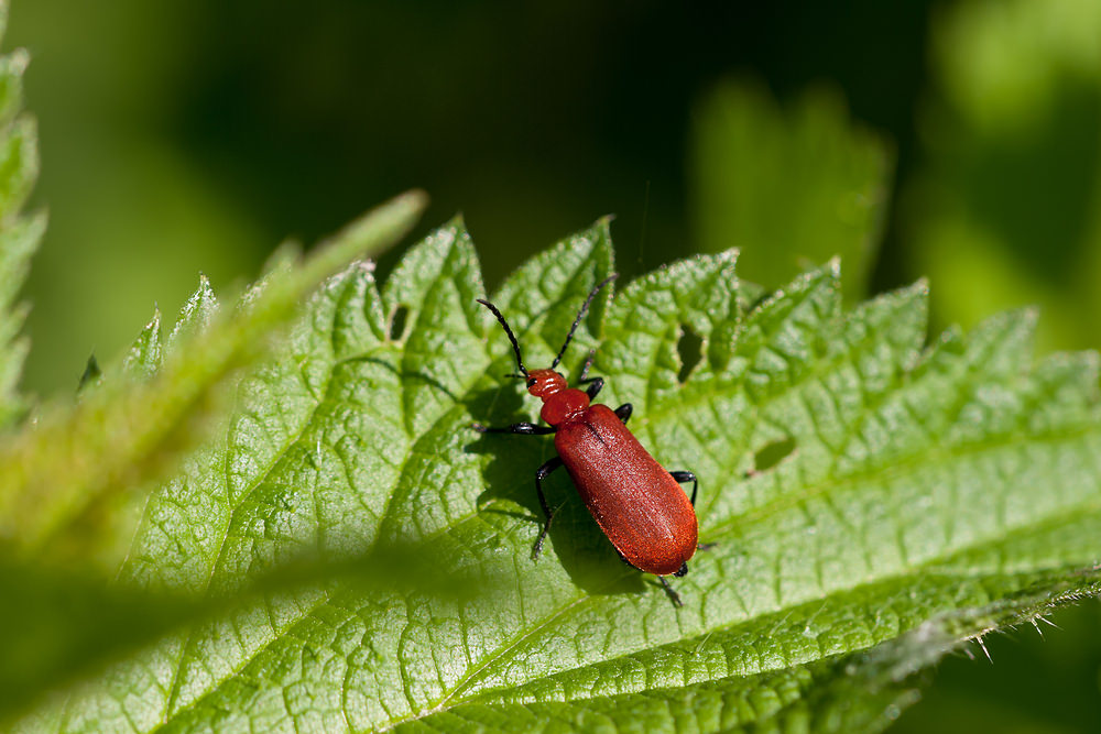 Pyrochroa serraticornis (Pyrochroidae)  - Cardinal rouge - Common Cardinal Beetle Marne [France] 04/05/2012 - 86m