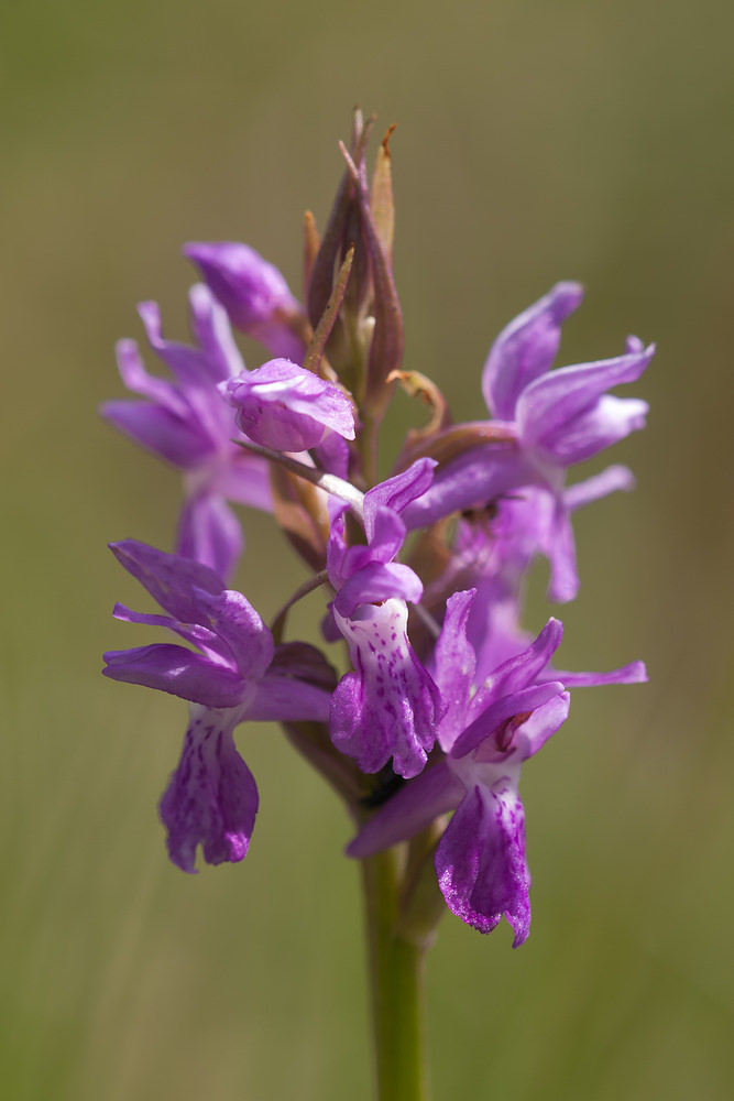 Dactylorhiza traunsteineri Orchis de Traunsteiner Narrow-leaved Marsh-orchid