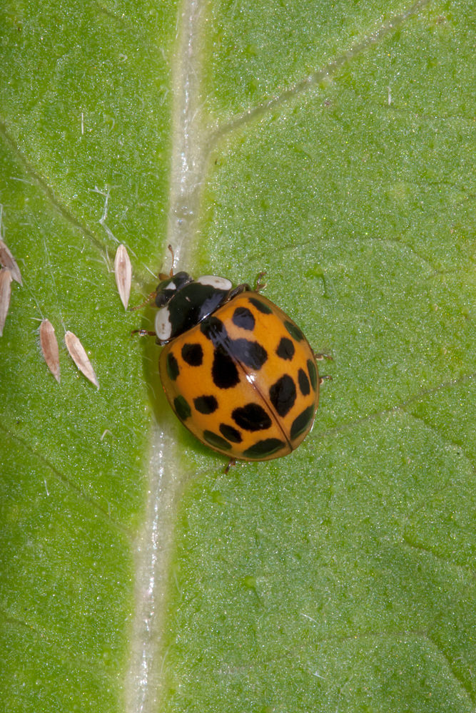 Harmonia axyridis (Coccinellidae)  - Coccinelle asiatique - Harlequin ladybird Nord [France] 21/07/2012 - 28mforme succinea
