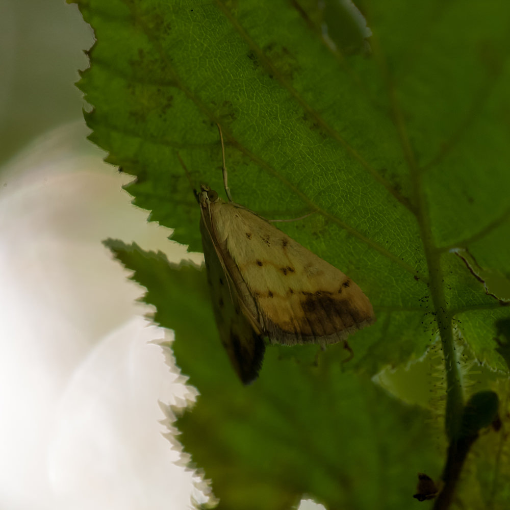 Evergestis extimalis (Crambidae)  - Marble-yellow straw pearl. samedi 18 août 2012, alt.=344m - Meuse [France].